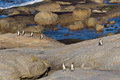 African penguins coming ashore Royalty Free Stock Image