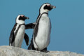 African penguins pair of spheniscus demersus against a blue sky western cape south africa Stock Image