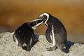 African penguins pair of spheniscus demersus western cape south africa Royalty Free Stock Images