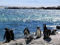 African penguins on Rocks by the sea Royalty Free Stock Photography