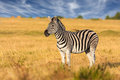 African plains zebra standing alone on the dry brown savannah grasslands browsing and grazing focus is on the with the background Stock Images
