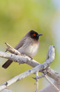African red eyed bulbul pycnonotus nigricans percehd on a brabch against a natural blurred background south africa Royalty Free Stock Photos