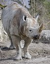 African rhinoceros 1 Stock Photos