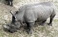 African rhinoceros latin name diceros bicornis Stock Images