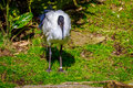 African sacred ibis an perches on the meadow Stock Photography