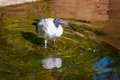 African sacred ibis an wades in the pond Stock Photography