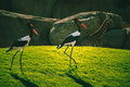 African Saddle-billed Storks