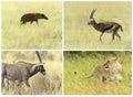 African savannah mammals