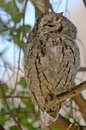 African scops owl otus senegalensis in kruger national park south africa Stock Photography