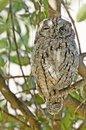 African scops owl otus senegalensis in kruger national park south africa Royalty Free Stock Images