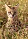 African Serval (Leptailurus serval) Royalty Free Stock Images