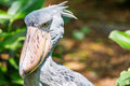 African shoebill balaeniceps rex also known as whalehead or sh shoe billed stork Royalty Free Stock Photography