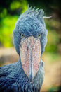 African shoebill balaeniceps rex also known as whalehead or shoe billed stork Stock Photo