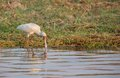African spoonbill platalea alba wading in shallow water Stock Photography