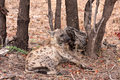 African spotted hyena Royalty Free Stock Photos