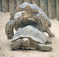 African spurred Tortoise 5 Royalty Free Stock Images