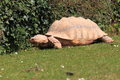 African spurred tortoise the crawling in the grass Stock Image