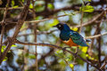 African starling beautiful on branch Royalty Free Stock Images