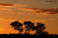 African sunset with silhouetted trees acacia and clouds kalahari desert south africa Royalty Free Stock Photo