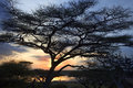African sunset or sunrise with acacia tree Royalty Free Stock Photo
