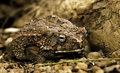 African Toad Royalty Free Stock Photo