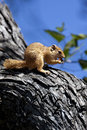 African tree squirrel okavango delta botswana xerus inauris eating on a in the in northern Stock Photography