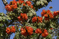 African tulip tree close up on the flowers on an Royalty Free Stock Photo