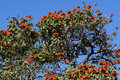 African tulip tree close up on the flowers on an Stock Photo