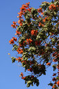 African tulip tree close up on the flowers on an Royalty Free Stock Photos