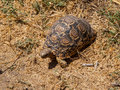 African turtle in the dry grassland Royalty Free Stock Images