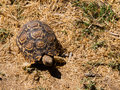 African turtle in the dry grassland Royalty Free Stock Photos