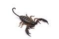 African venom Scorpion isolated on white background Royalty Free Stock Photo