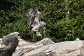 African Verreaux eagle owl Royalty Free Stock Photo