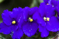 African violet Royalty Free Stock Photo