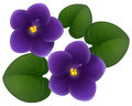 African violet flowers and green leaves Royalty Free Stock Photo