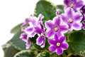 African violets as a postal card these bright beautiful flowers isolated on white might be used or background Stock Photography