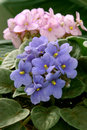 African Violets (saintpaulia) Royalty Free Stock Photography