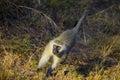 African Vivid Monkey Walking along the road Royalty Free Stock Photo
