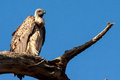 African vulture on tree in serengeti tanzania africa Royalty Free Stock Image