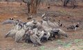 African vultures hooded and white backed at a wildebeest kill in the kruger national park south africa Royalty Free Stock Photography