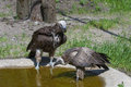 African vultures at a pond lappet faced and white backed Royalty Free Stock Photos