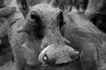African warthog head close up Stock Image