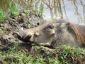 African Warthog in Mud Royalty Free Stock Photo