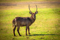 African waterbuck antelope in savanna of botswana Stock Photos