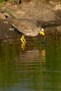 African Wattled lapwing Stock Photos