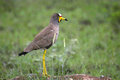 African wattled lapwing vanellus senegallus in kruger national park south africa Stock Image