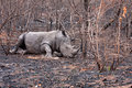 African white rhinoceros wounded Royalty Free Stock Photography