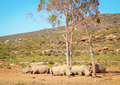African white rhinos relax during midday heat Stock Photography