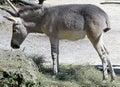 African wild ass young eating hay latin name equus africanus Stock Image