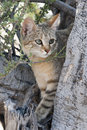 African wild cat in etosha national park namibia africa Royalty Free Stock Images